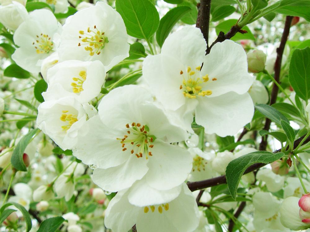 applehill_blossom2