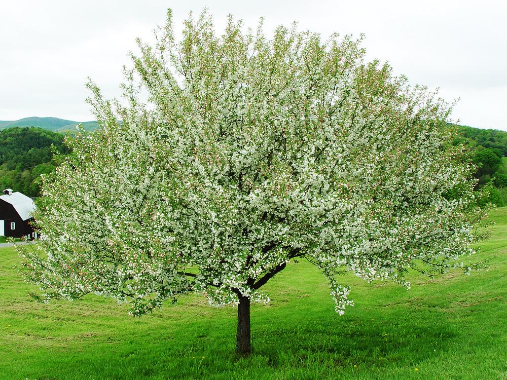 applehill_tree
